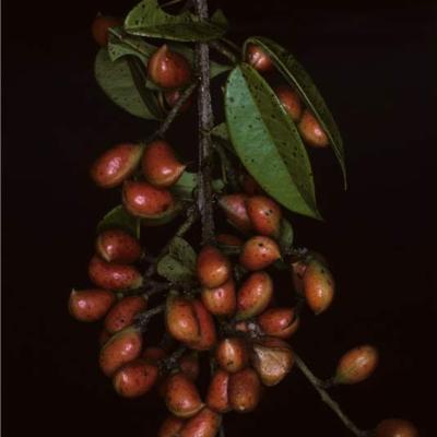 Connarus (Connaraceae)