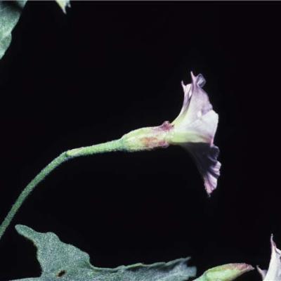 Convolvulus equitans (Convolvulaceae)