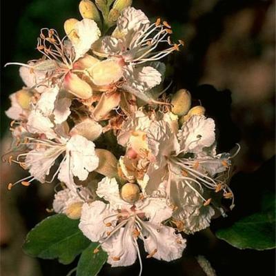 (Leguminosae (Caesalpinioideae))