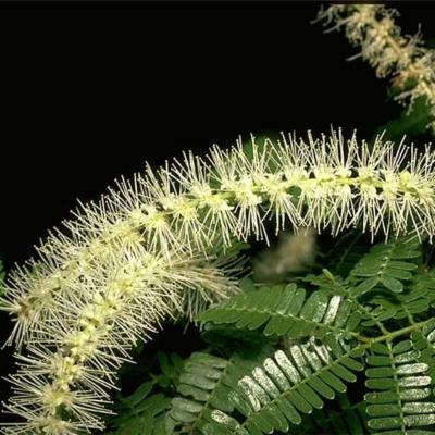 Mimosa tenuiflora (Leguminosae (Mimosoideae))