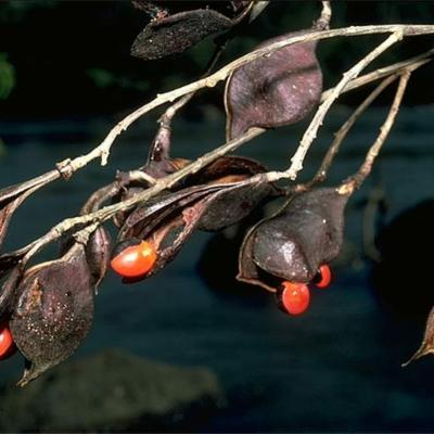 Ormosia smithii (Leguminosae (Papilionoideae))