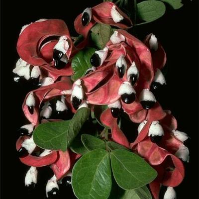 Pithecellobium excelsum (Leguminosae (Mimosoideae))