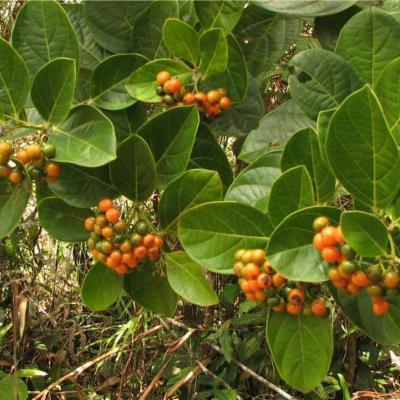 Cordia correae (Boraginaceae)