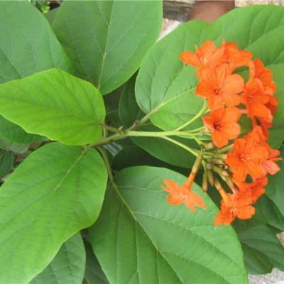 Cordia sebestena (Boraginaceae)