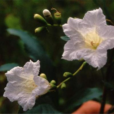 Cordia superba (Boraginaceae)