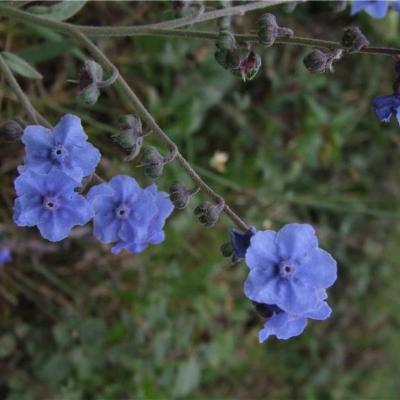 Cynoglossum amabile (Boraginaceae)