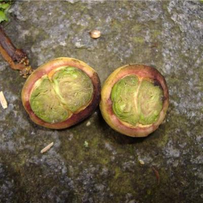 Myrcia Myrceugenia (Myrtaceae)