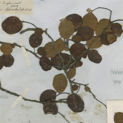 Goodallia guianensis (Thymelaeaceae)