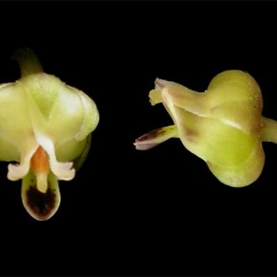 Hybanthus atropurpuerus (Violaceae)
