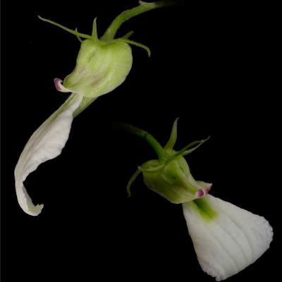 Hybanthus bigibbosus (Violaceae)
