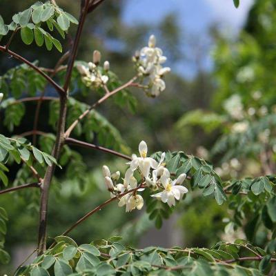 Moringa oleifera (Moringaceae)