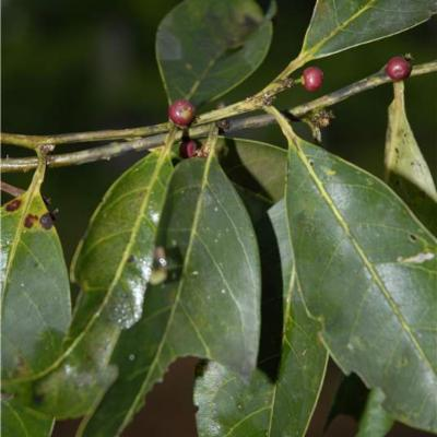 Ilex inundata (Aquifoliaceae)