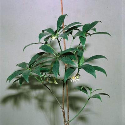 Illicium anisatum (Illiciaceae)