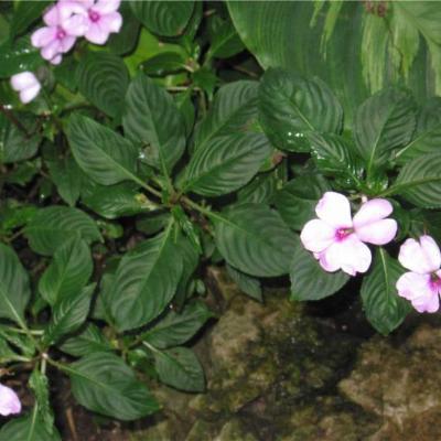 Impatiens flaccida (Balsaminaceae)