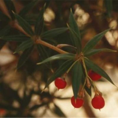 Jacquinia aculeata (Theophrastaceae)