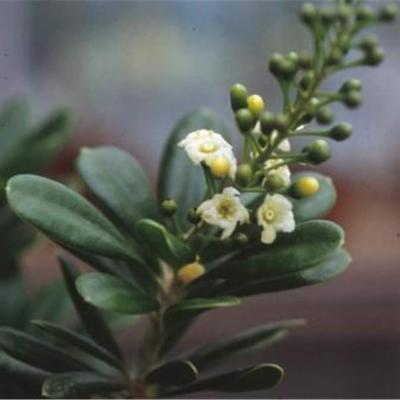 Jacquinia keyensis (Theophrastaceae)