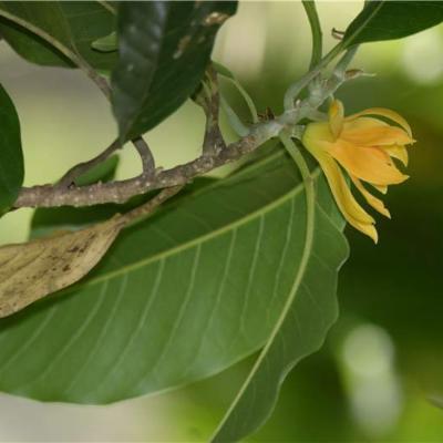 Magnolia champaca (Magnoliaceae)