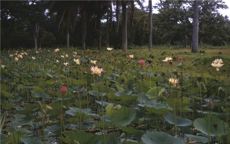Nelumbo nucifera gaertn plants of the world online kew science ksp ntk laa mightylinksfo