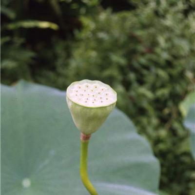 Nelumbo lutea (Nelumbonaceae)