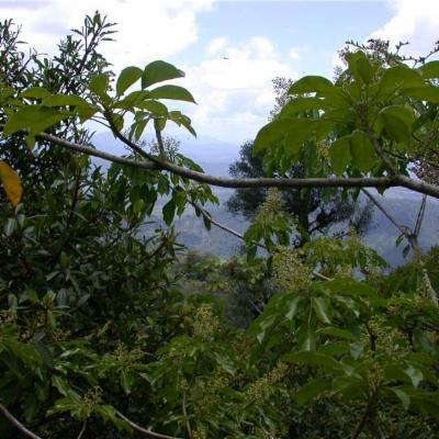 Oreopanax capitatus (Araliaceae)