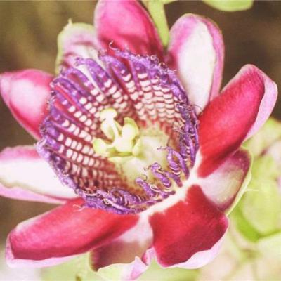 Passiflora alata (Passifloraceae)