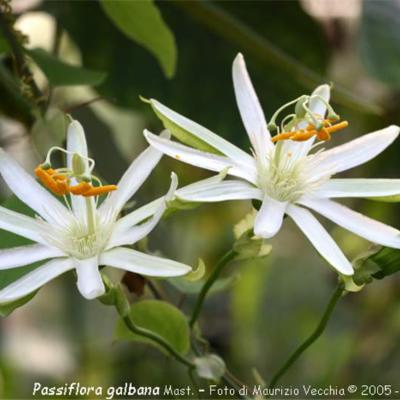 Passiflora galbana (Passifloraceae)