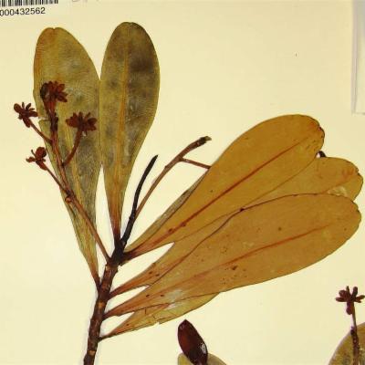Pentamerista neotropica (Tetrameristaceae)