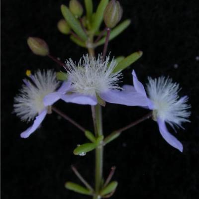 Scoparia ericacea (Plantaginaceae)