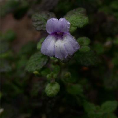 Stemodia stellata (Plantaginaceae)