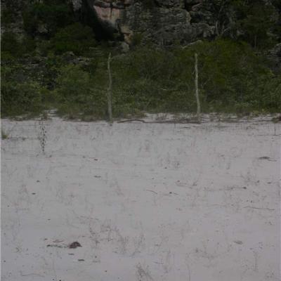 Philcoxia minensis (Plantaginaceae)
