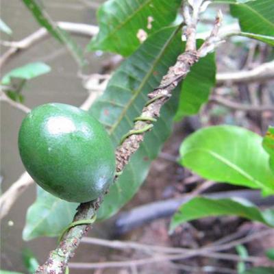 Pouteriacaimito (Sapotaceae)