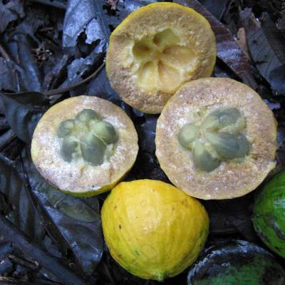 Pouteria (Sapotaceae)