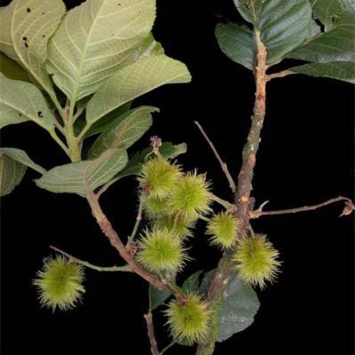 Sloanea retusa (Elaeocarpaceae)