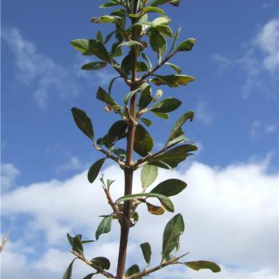 Rhynchotheca spinosa (Vivianiaceae)