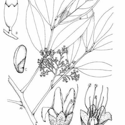 Rourea accrescens (Connaraceae)