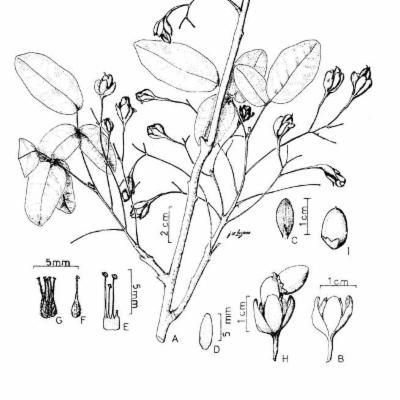 Rourea macrocalyx (Connaraceae)