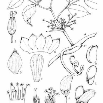 Rourea (Connaraceae)