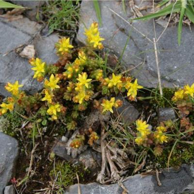 Sedum (Crassulaceae)