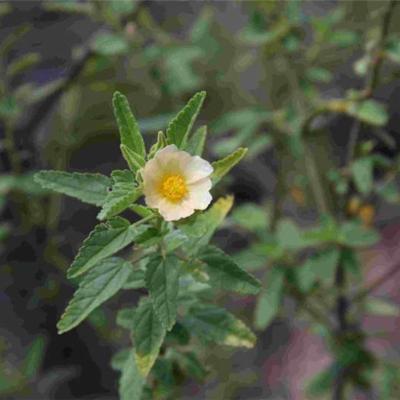 Sida aurantiaca (Malvaceae (Malvoideae))