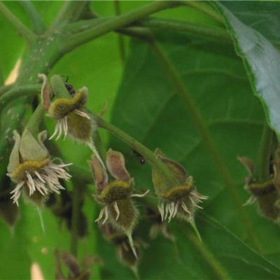 Sloanea terniflora (Elaeocarpaceae)