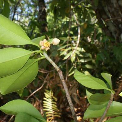 Ternstroemia dentata (Pentaphylacaceae)