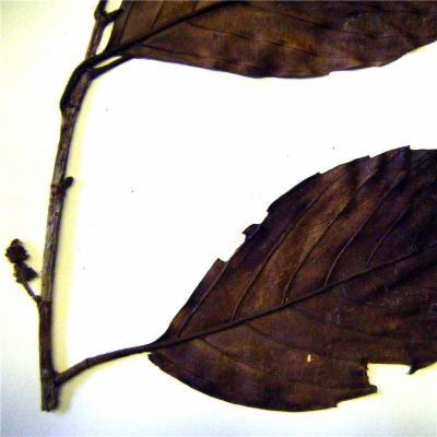 Ticodendron incognitum (Ticodendraceae)