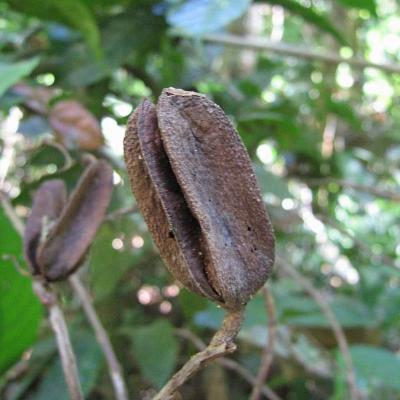 Vochysia citrifolia (Vochysiaceae)