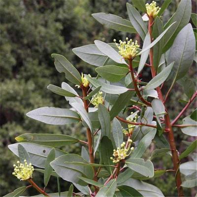 Drymis winteri (Winteraceae)