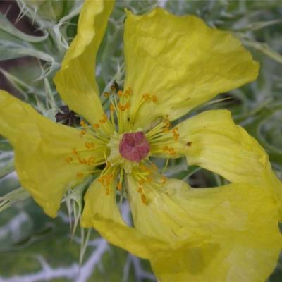 Argemone mexicana (Papaveraceae)