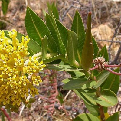 Asclepias barjoniifolia (Apocynaceae (Asclepiadoideae))