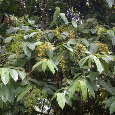Banara guianensis (Salicaceae)
