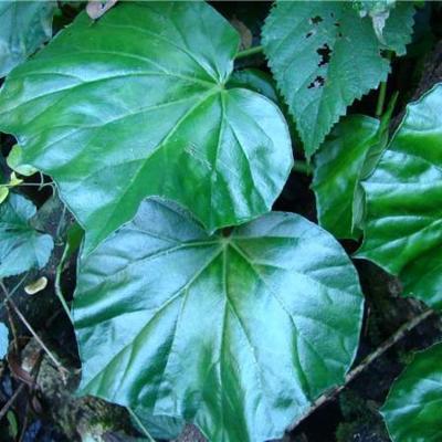 Begonia convolvulacea (Begoniaceae)