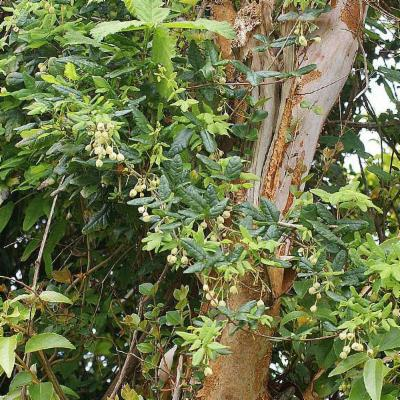 Boquila trifoliolata (Lardizabalaceae)
