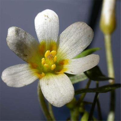 Cabomba aquatica (Cabombaceae)